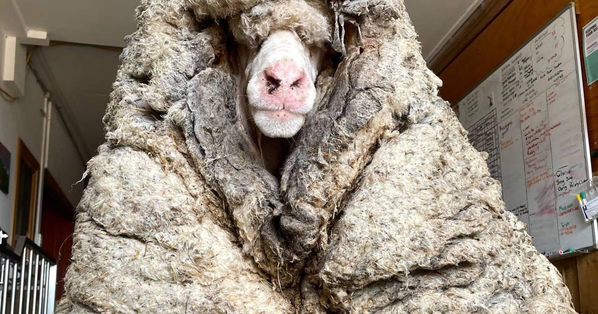 Baarack: Verwildertes Schaf schleppte jahrelang 35 Kilo Wolle mit sich herum - RP ONLINE