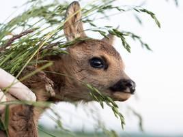 Tierschützerin bewahrt Rehe vor dem Mähtod: Wie es sich anfühlt, ein Kitz zu retten