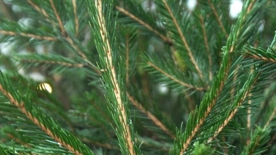 Weihnachtsbaum Schneit.Welche Sorte Weihnachtsbaum Ist Die Beste