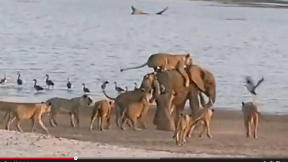 Löwe Gegen Elefant