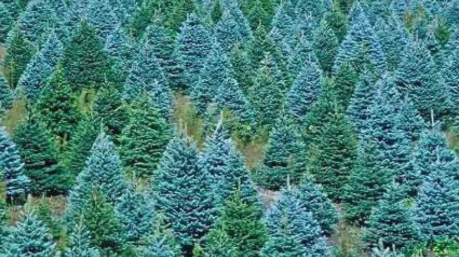 welche sorte weihnachtsbaum bleibt sch n gr n fast ohne zu nadeln. Black Bedroom Furniture Sets. Home Design Ideas