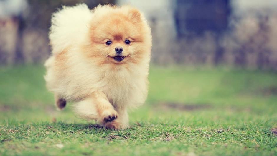 Hunde Kläffen Erlaubt Der Spitz
