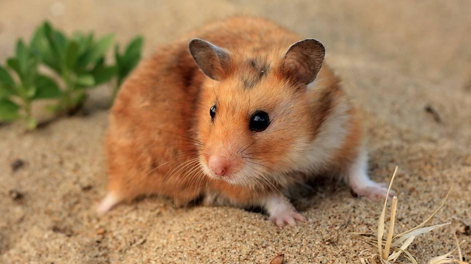hamster zum ausdrucken  vorlagen zum ausmalen gratis