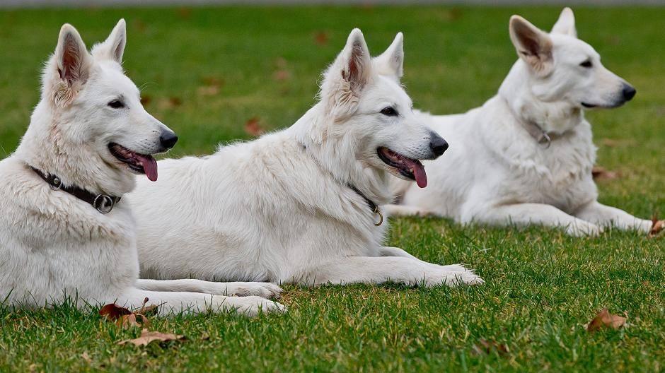 Hunde Sieht Aus Wie Ein Wolf Der Weisse Schweizer Schaferhund