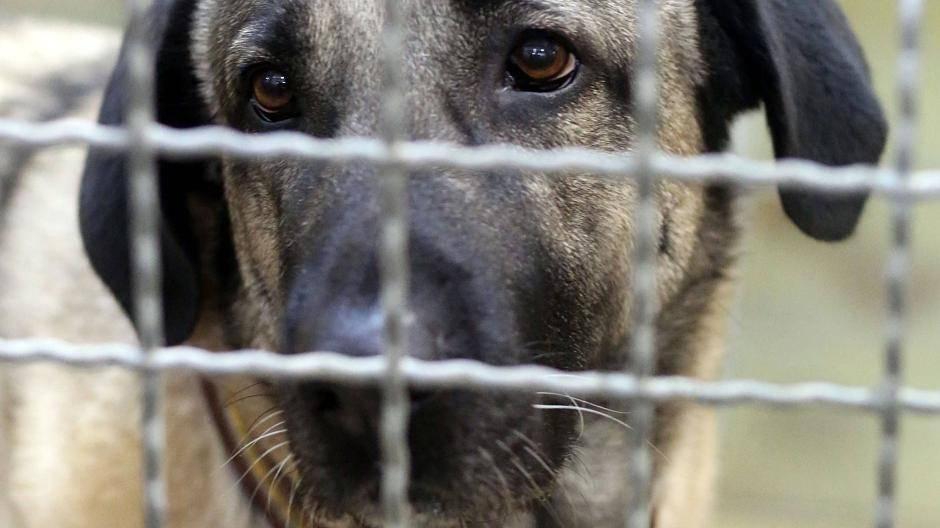 Leverkusen Kangal Hunde Aus Hitdorf Im Tierheim