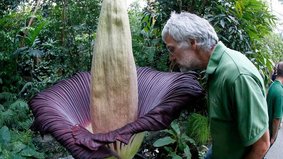 Titanwurz - die größte Blume der Welt