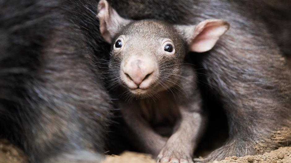 wombat baby apari im duisburger zoo die n chsten bilder. Black Bedroom Furniture Sets. Home Design Ideas