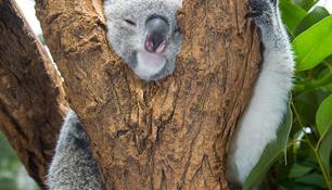 """Save the koala day"" im Duisburger Zoo"