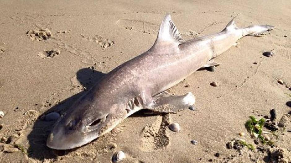 Diese Haie Leben In Der Nordsee