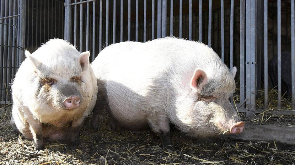 Schweine Retten