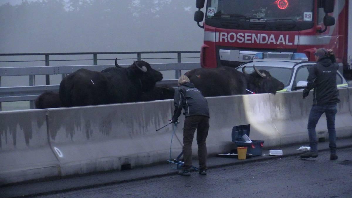Ausgebüxte Wasserbüffel sorgen für Vollsperrung auf der A3
