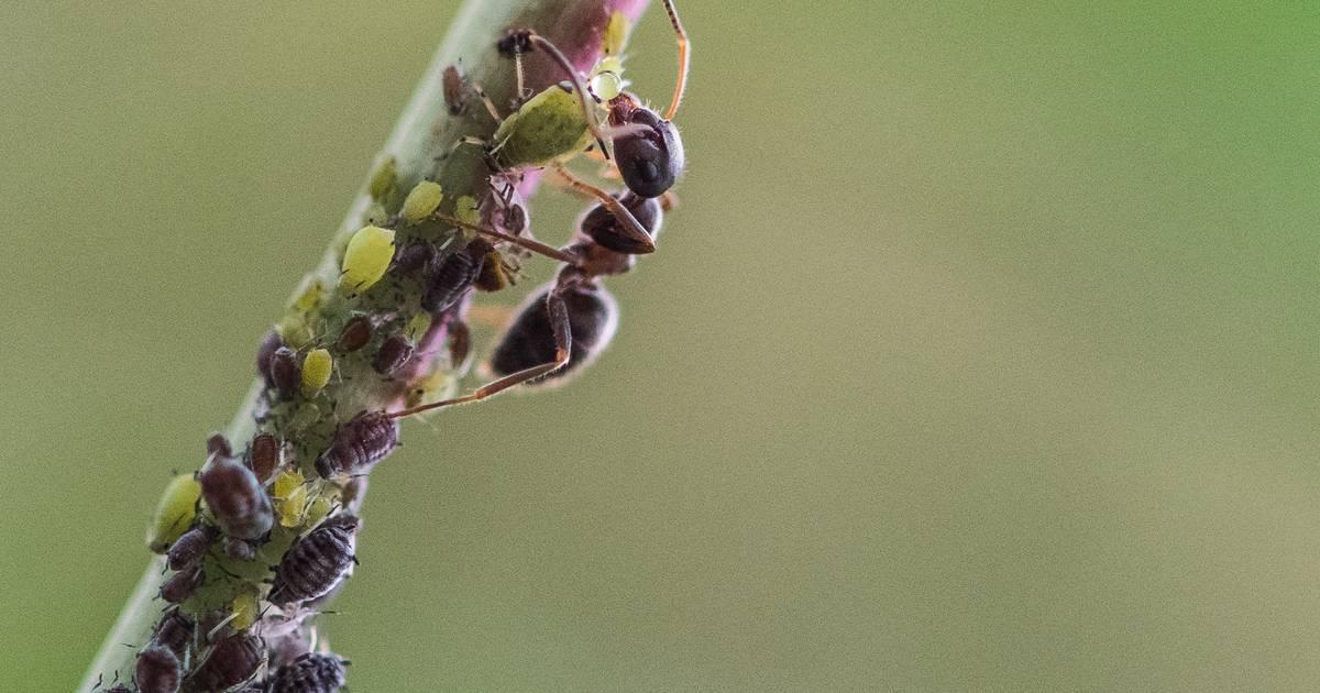 Fliegende Ameisen Stechen