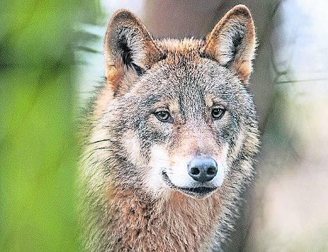 Wolf Hünxe