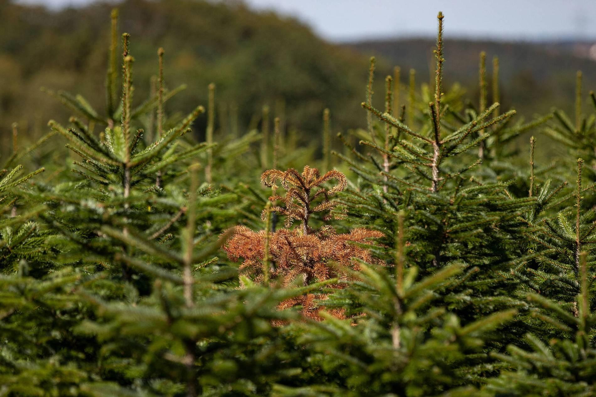Tannenbaum Preise.Weihnachtsbaum Preise 2018 Bleiben Trotz Hitze Sommer Wohl Stabil