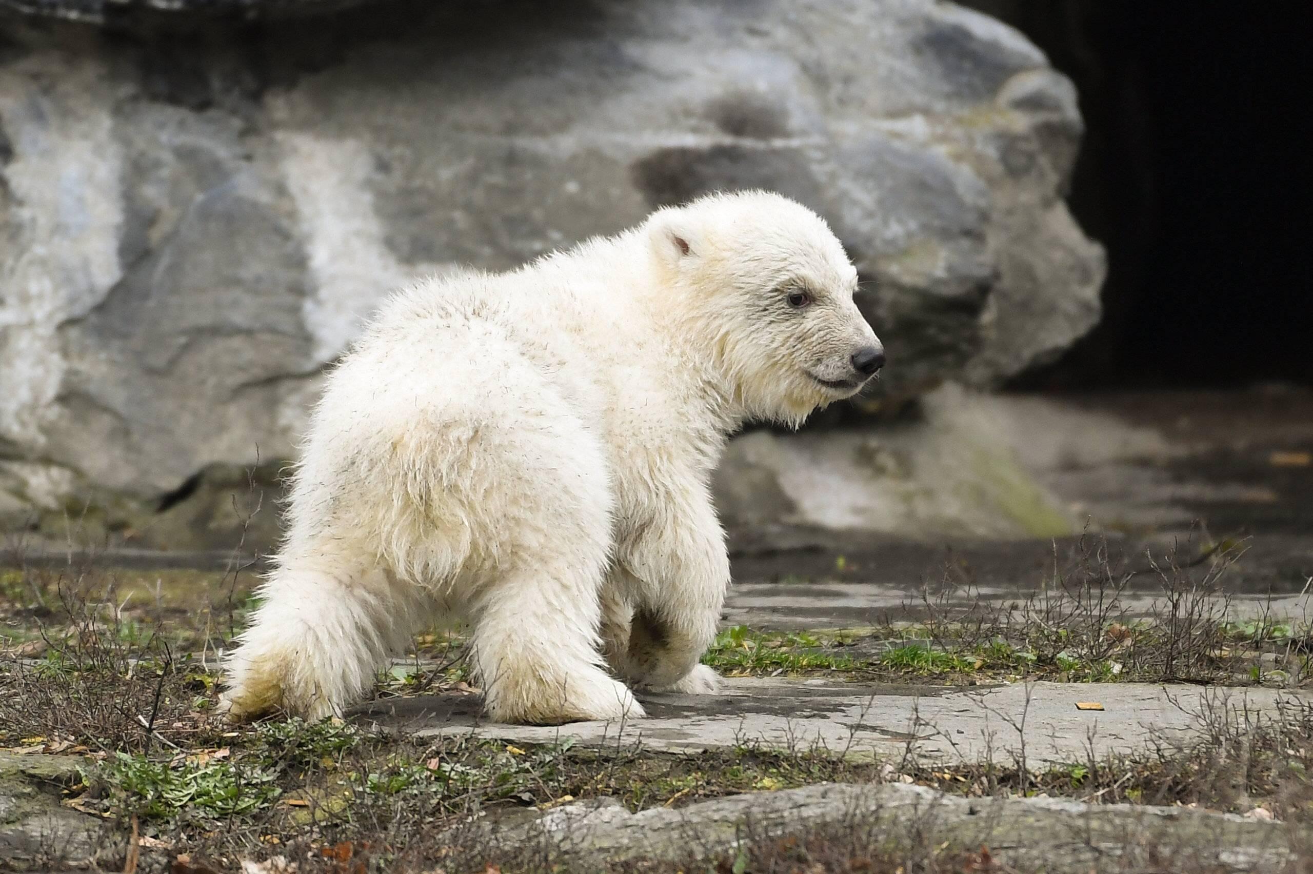Tierpark Berlin Eisbär Baby Imunternimmt Seinen Ersten Ausflug