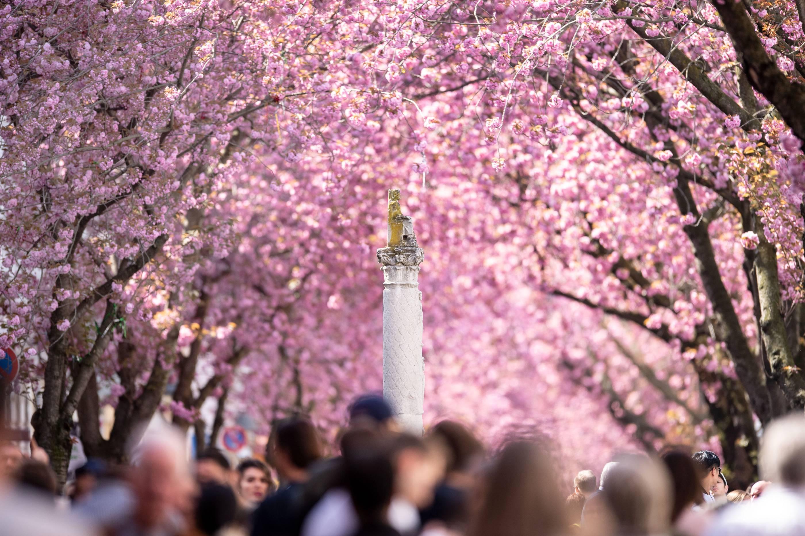 Kirschblüten internationaler Dating-Standort