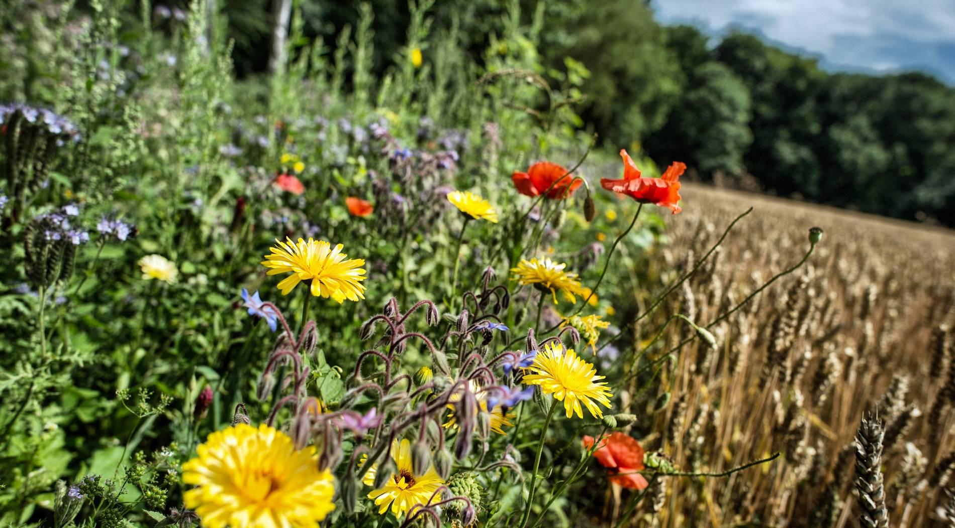 Biotop-AG sät Blühwiesenstreifen