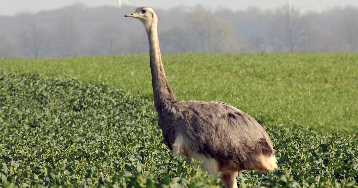 Straußenähnlicher Vogel