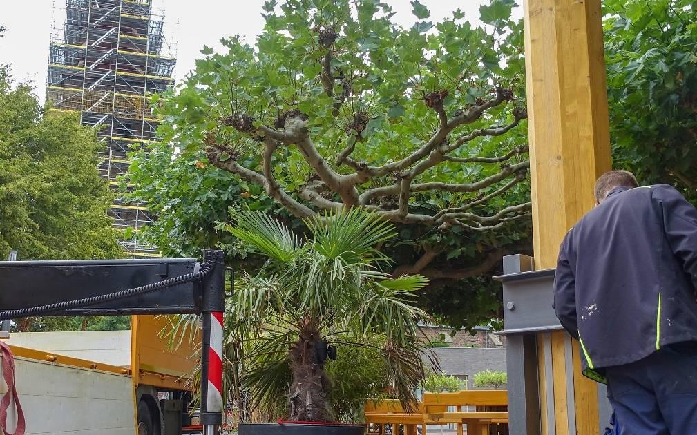 einneuer vereinsbaum für den Bischof-Dingelstad-Platz