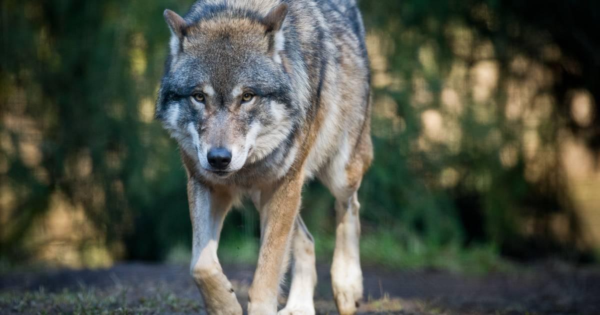 An der B 58: Wolf in Issum gesichtet ?