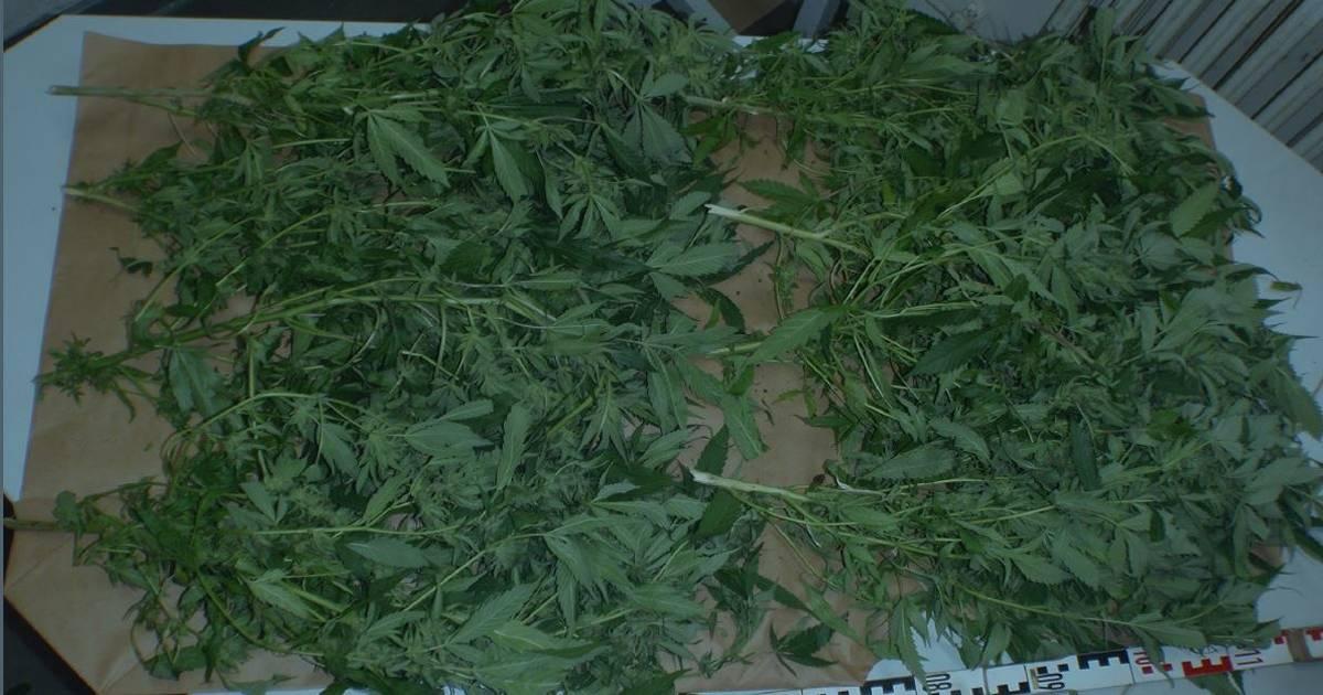 Düsseldorf-Reisholz: Polizei entdeckt zufällig Cannabis-Plantage