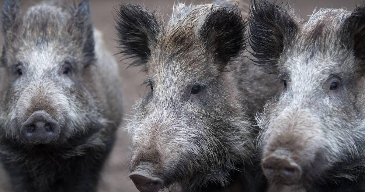 30 Wildschweine sterben bei Unfällen in Thüringen und Rheinland-Pfalz