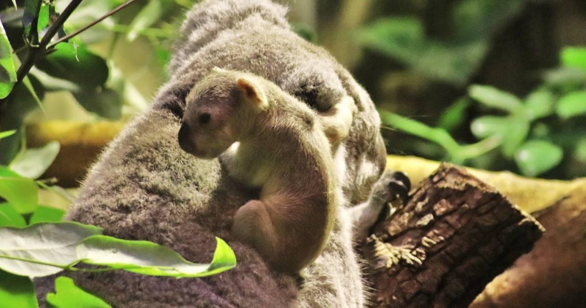 Zoo Duisburg: Baby-Koala wohl an Infektion verstorben