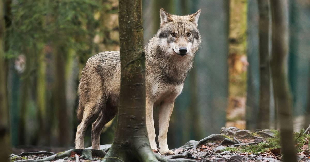 Wölfe in NRW: Das Oberbergische Land wird zum Wolfsverdachtsgebiet