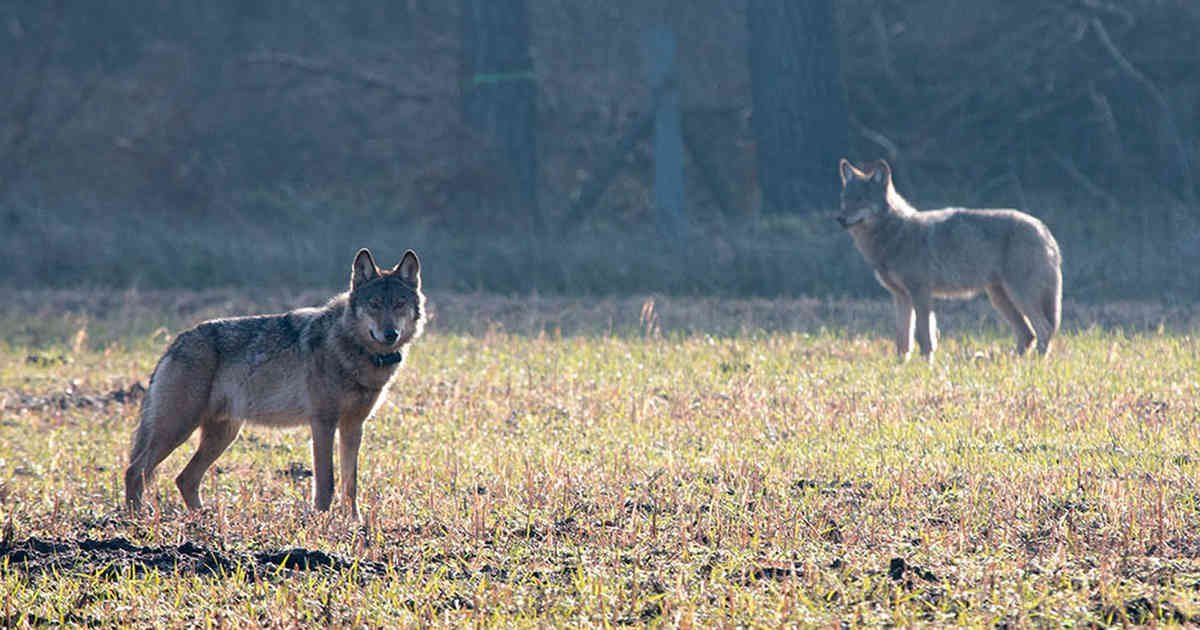 Wolf in NRW: Immer mehr gerissene Tiere - Schermbeck betroffen