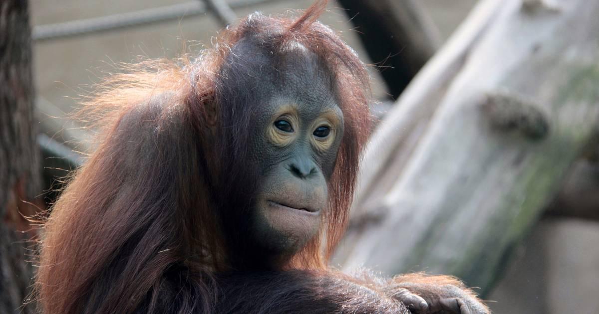 Zoo Duisburg: Spannende Aktionen zum Welt-Affen-Tag