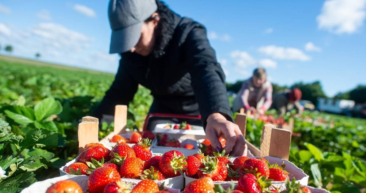 Erdbeeren Aus Spanien Corona