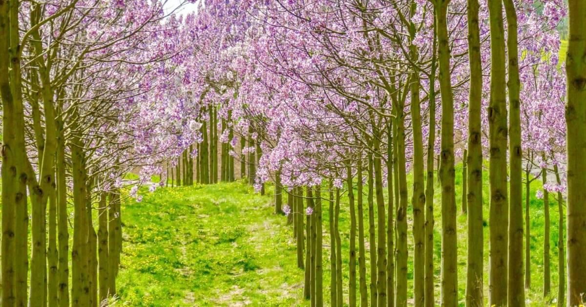 Diskussion im Issumer Umweltausschuss: Aus für Wald-Idee mit Kiri-Bäumen in Issum