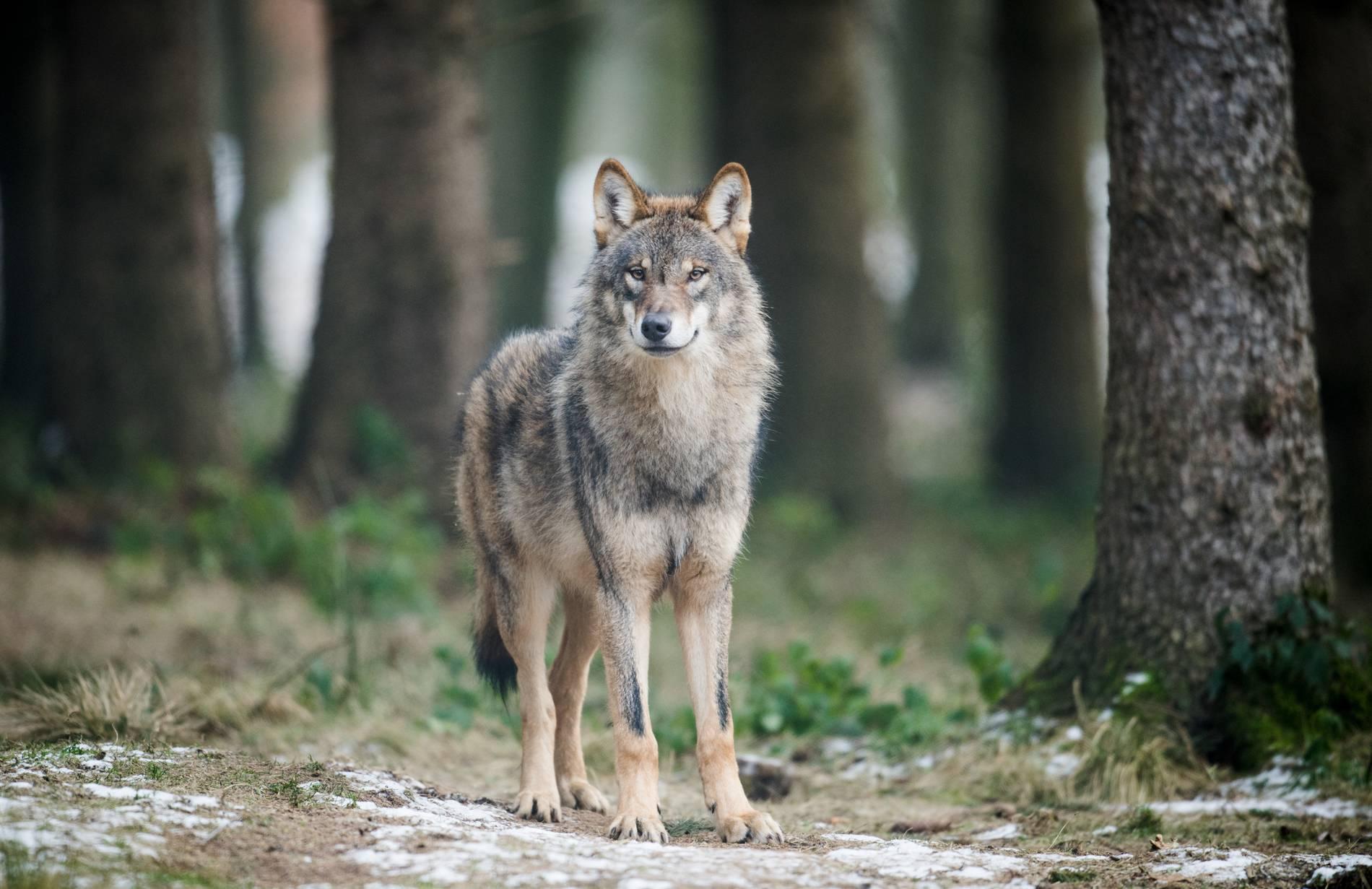 Niederrhein Wolf Gloria in NRW hat Nachwuchs   Behörden ...